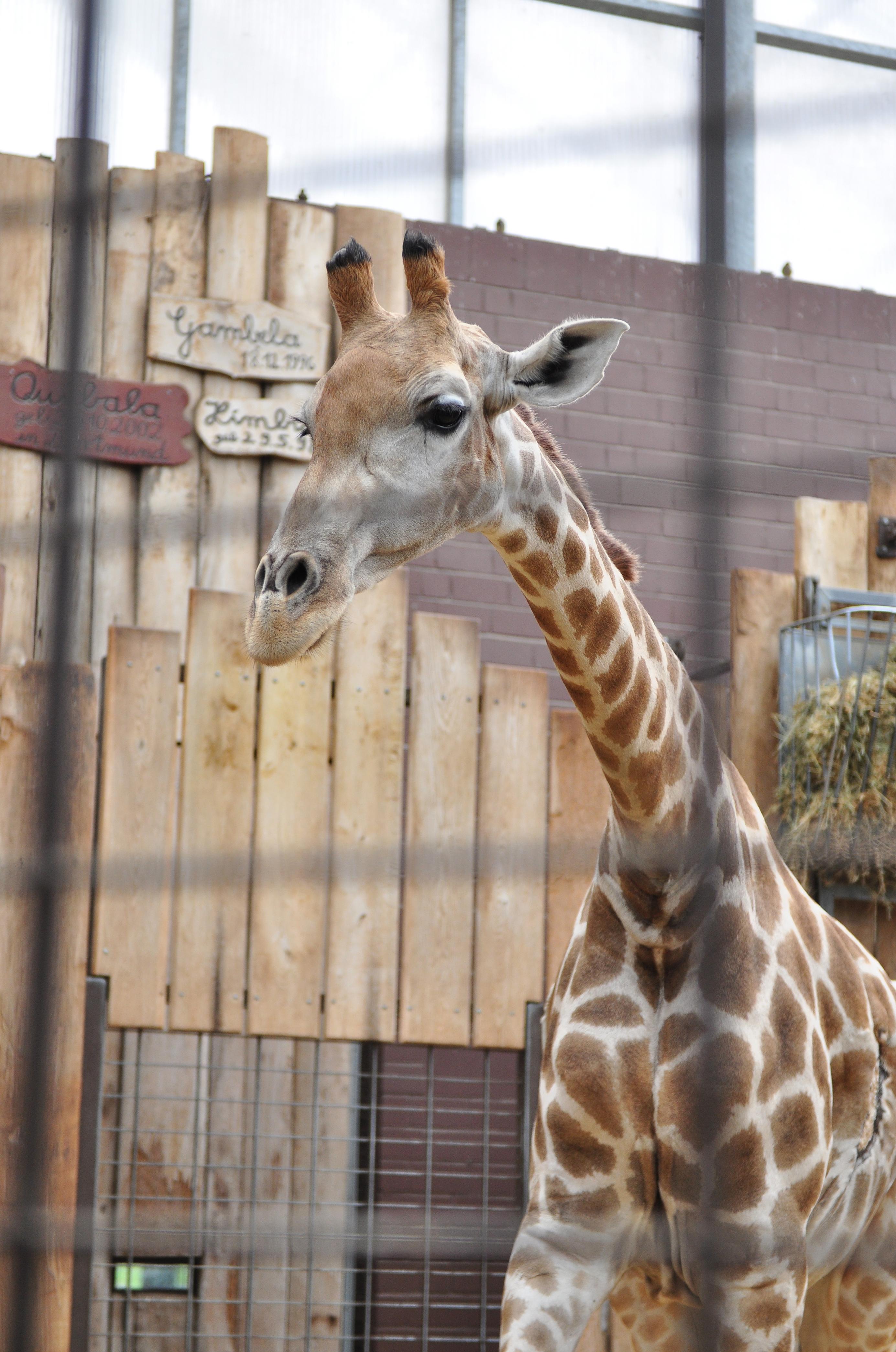 flaschenkind bei den giraffen sonstiges medien zoo dortmund freizeit kultur. Black Bedroom Furniture Sets. Home Design Ideas