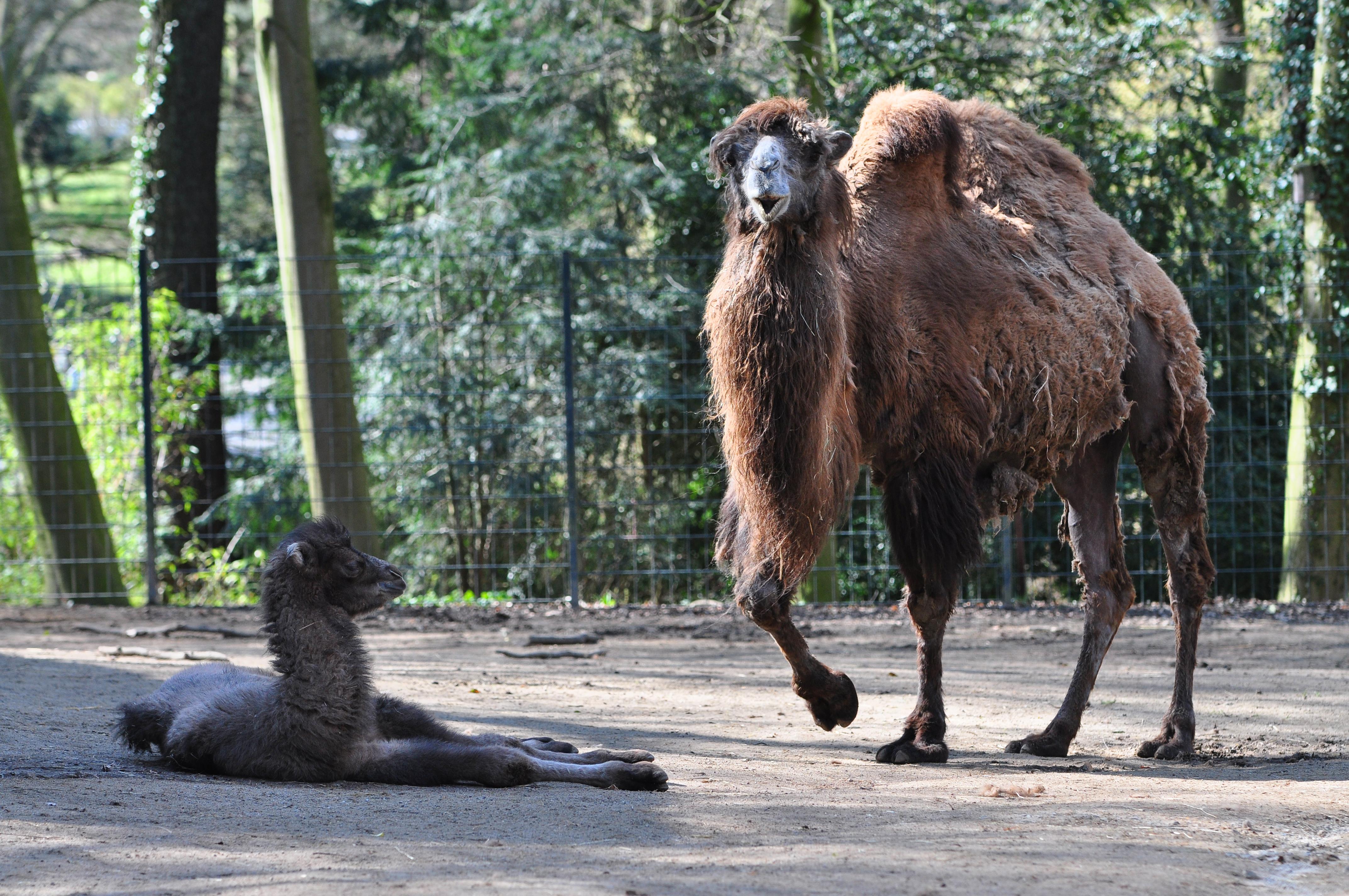 kamelbaby im zoo dortmund medien zoo dortmund freizeit kultur tourismus stadtportal. Black Bedroom Furniture Sets. Home Design Ideas