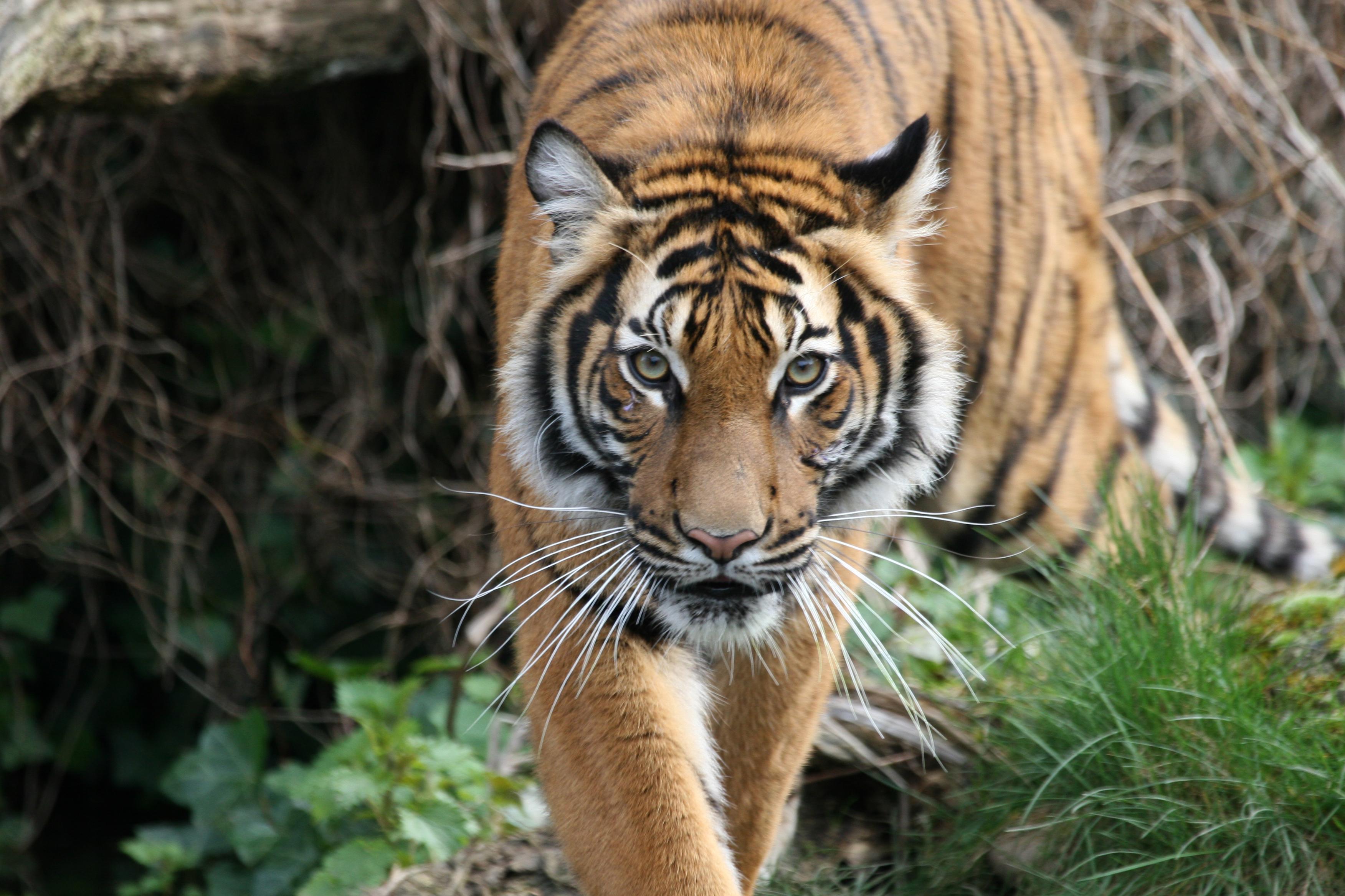 Tiger Dortmund