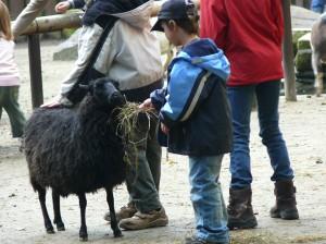 Kind füttert Schaf in Streichelzoo